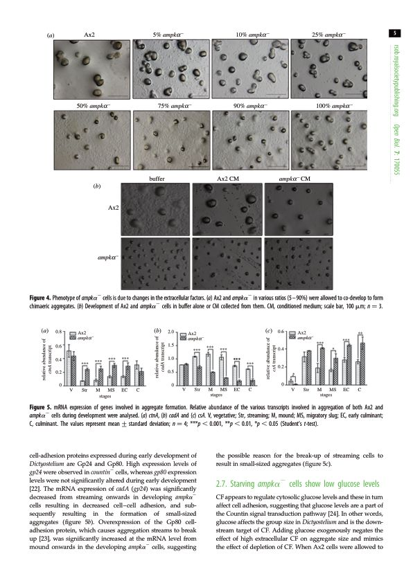 Starving ampk[alpha]- cells show low glucose levels   Page 7