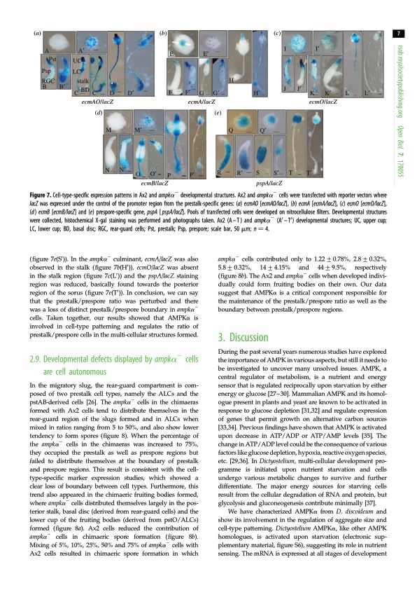 Developmental defects displayed by ampk[alpha]- cells are cell autonomous   Page 9