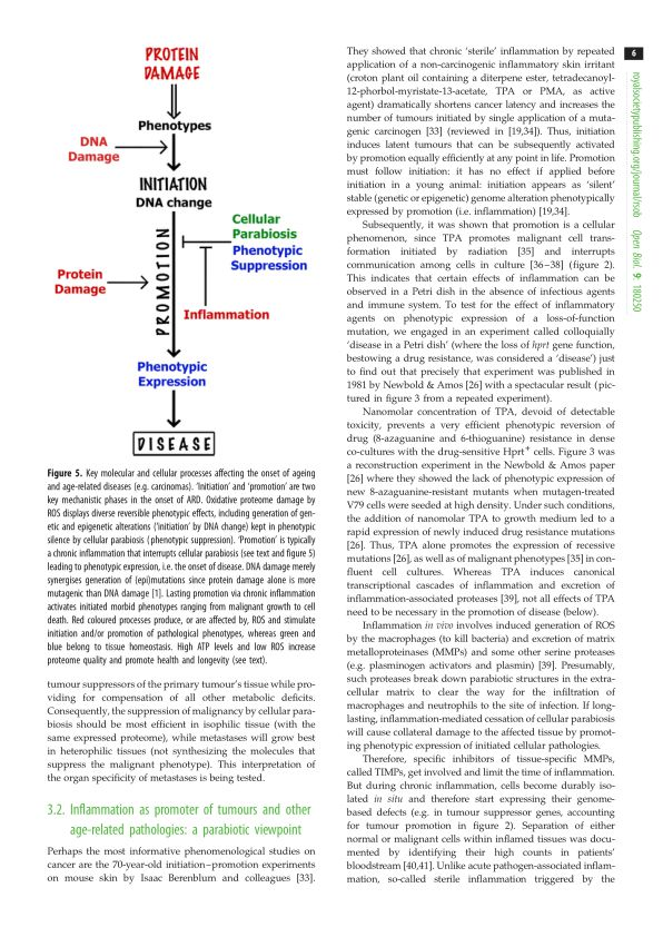 Inflammation as promoter of tumours and other age-related pathologies: a parabiotic viewpoint   Page 3