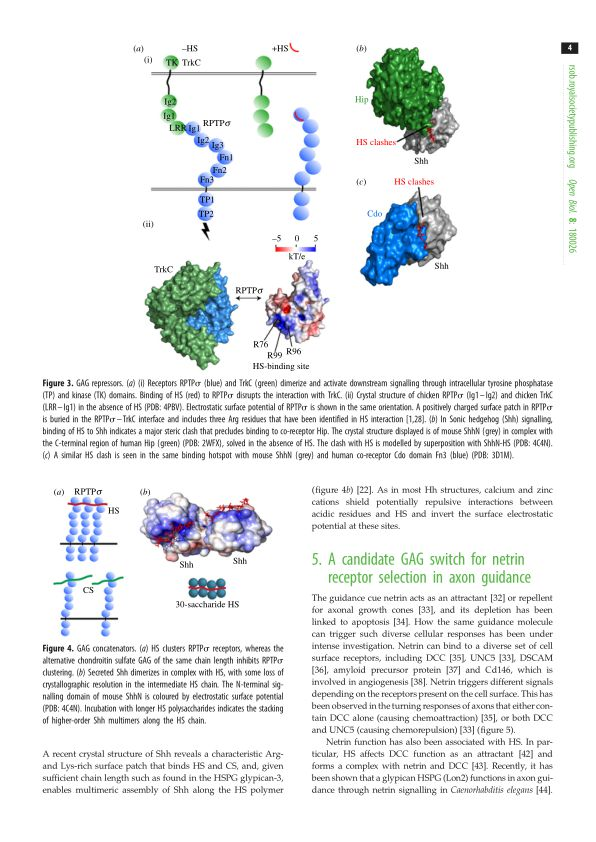 A candidate GAG switch for netrin receptor selection in axon guidance | Page 3