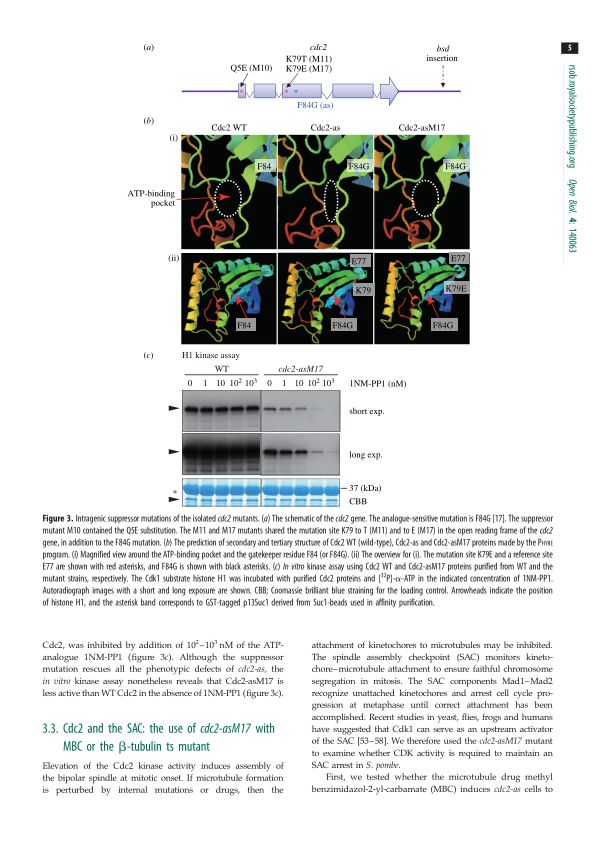 Cdc2 and the SAC: the use of cdc2-asM17 with MBC or the &bgr;-tubulin ts mutant | Page 3